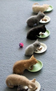 cat-kittens-chowtime