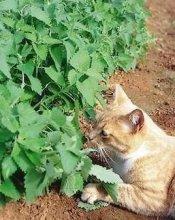 catnip-cat-photo
