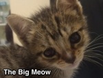 The Big Meow in Long Beach, California.  Low-cost Kitten Spay / Neuter Program!
